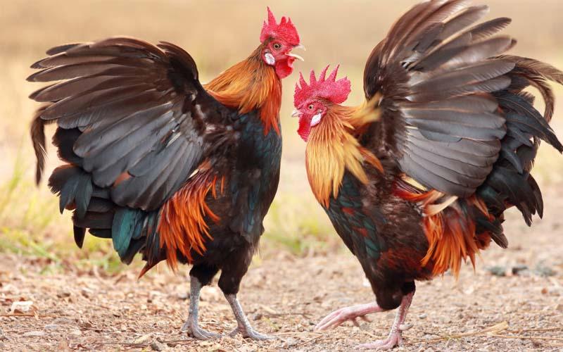 Mơ thấy gà đá nhau đánh con gì dễ ăn nhất? Là điềm báo gì?