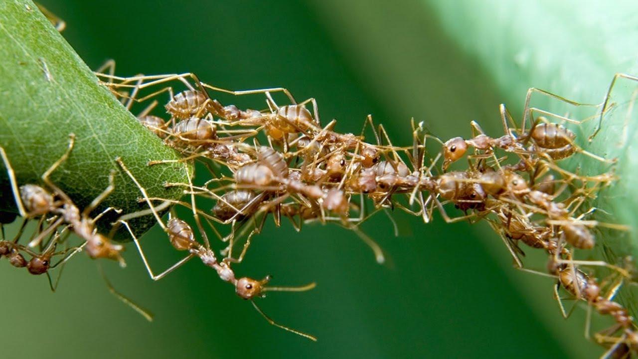 Nằm mơ thấy đàn kiến lửa là điềm gì, đánh con gì?