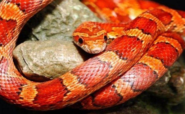 Mơ thấy rắn đỏ