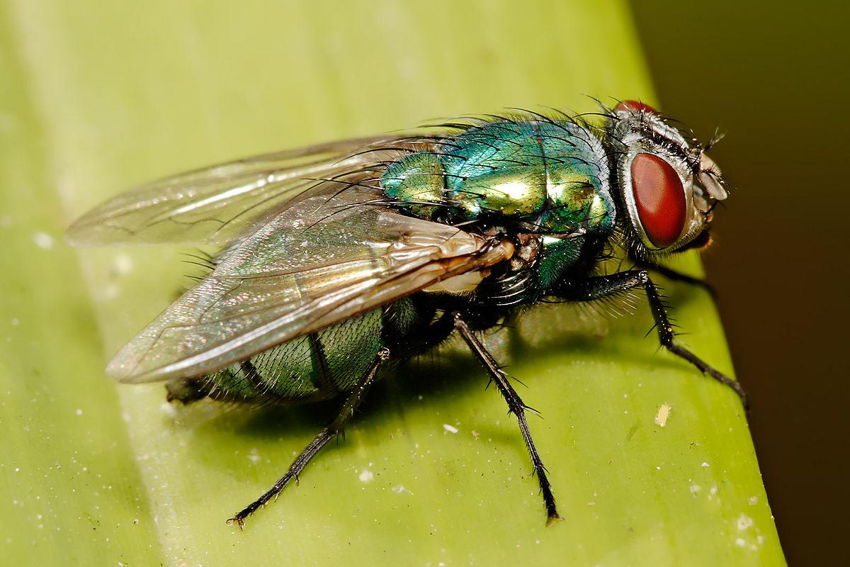 Nằm mơ thấy ruồi bay lên có ý nghĩa gì? Nên đánh con gì?